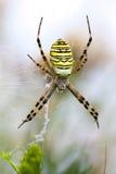Araña del Argiope Imagenes de archivo