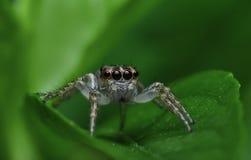 Araña del asesino del insecto de Beautifu en Malasia Imágenes de archivo libres de regalías