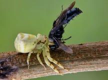 Araña del cangrejo Fotos de archivo libres de regalías