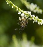 Araña del cangrejo Imagenes de archivo