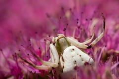 Araña del cangrejo Fotografía de archivo
