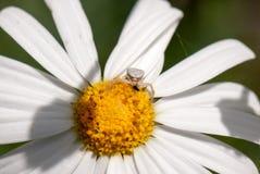 Araña del cangrejo Foto de archivo libre de regalías