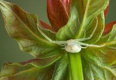Araña del cangrejo bajo bálsamo de abeja Foto de archivo libre de regalías