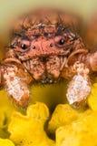 Araña del cangrejo común, araña del cangrejo, araña, cristatus de Xysticus Foto de archivo libre de regalías
