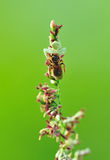 Araña del cangrejo con la presa Foto de archivo