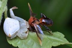 Araña del cangrejo con la presa Imagen de archivo libre de regalías