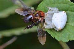 Araña del cangrejo con la presa Foto de archivo libre de regalías