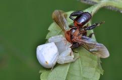 Araña del cangrejo con la presa Fotos de archivo libres de regalías