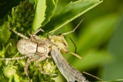 Araña del cangrejo con su presa Fotografía de archivo
