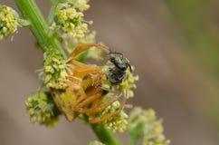 Araña del cangrejo con una abeja de la presa Imágenes de archivo libres de regalías