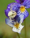 Araña del cangrejo de la flor, vatia de Thomisidae Misumena Imagen de archivo