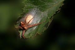 Araña del cangrejo de la margarita y de la vara de oro Imagen de archivo