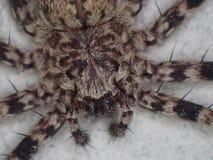 Araña del cangrejo de la pared fotografía de archivo