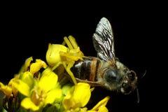 Araña del cangrejo del onustus de Thomisus con la presa de la abeja de la miel fotografía de archivo