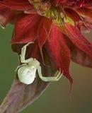 Araña del cangrejo en bálsamo de abeja Imágenes de archivo libres de regalías