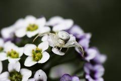 Araña del cangrejo en emboscada Imágenes de archivo libres de regalías