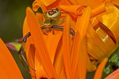 Araña del cangrejo en margarita anaranjada Imagenes de archivo