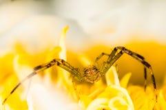 Araña del cangrejo en una flor amarilla Foto de archivo libre de regalías