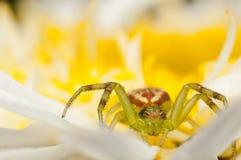 Araña del cangrejo en una flor amarilla Fotos de archivo libres de regalías