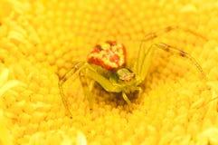 Araña del cangrejo en una flor amarilla Imagen de archivo
