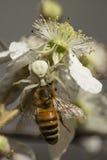 Araña del cangrejo que captura una abeja de la miel Fotografía de archivo