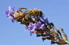 Araña del cangrejo que come la abeja Imagen de archivo libre de regalías