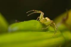 Araña del cangrejo verde Foto de archivo libre de regalías