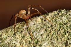 Araña del cellulanus de Nesticus Fotos de archivo libres de regalías