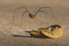 Araña del este del segador imagen de archivo libre de regalías