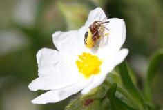 Araña del globusum de Synama que devora la presa atrapada sobre un detalle de la flor Fotografía de archivo
