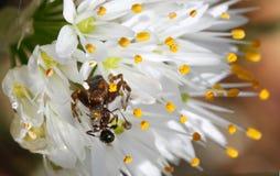 Araña del globusum de Synama que devora la presa atrapada sobre una flor Imagen de archivo