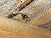 Araña del hogar de Brown imágenes de archivo libres de regalías