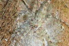 Araña del Huntsman Fotografía de archivo