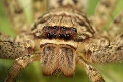 Araña del Huntsman Imágenes de archivo libres de regalías