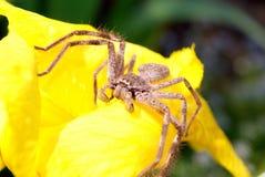 Araña del Huntsman en la flor Fotos de archivo libres de regalías