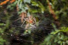 Araña del laberinto que come el saltamontes Foto de archivo