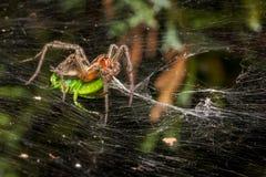 Araña del laberinto que come el saltamontes Imagen de archivo