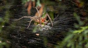 Araña del laberinto que come el saltamontes Imágenes de archivo libres de regalías