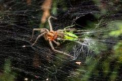 Araña del laberinto que come el saltamontes Imagen de archivo libre de regalías