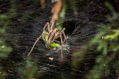 Araña del laberinto que come el saltamontes Fotografía de archivo
