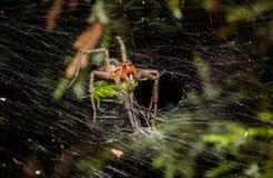 Araña del laberinto que come el saltamontes Fotografía de archivo libre de regalías