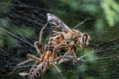 Araña del laberinto que come la abeja Imágenes de archivo libres de regalías