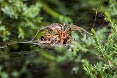 Araña del laberinto que come la abeja Fotografía de archivo libre de regalías