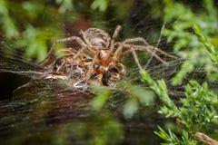 Araña del laberinto que come la abeja Imagen de archivo libre de regalías