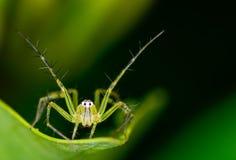 Araña del lince Fotografía de archivo