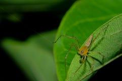 Araña del lince Foto de archivo
