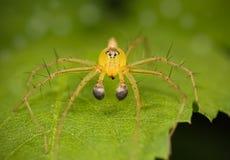Araña del lince Fotos de archivo