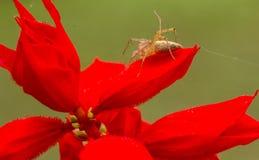 Araña del lince común Fotos de archivo