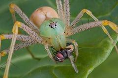 Araña del lince con la mosca   Fotos de archivo