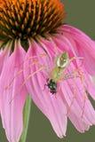 Araña del lince con la mosca en la flor 2 Imágenes de archivo libres de regalías